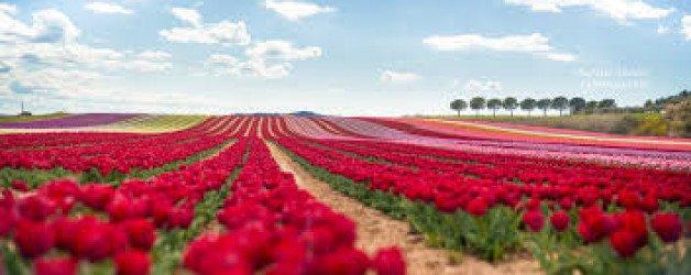 S'offrir des Tulipes